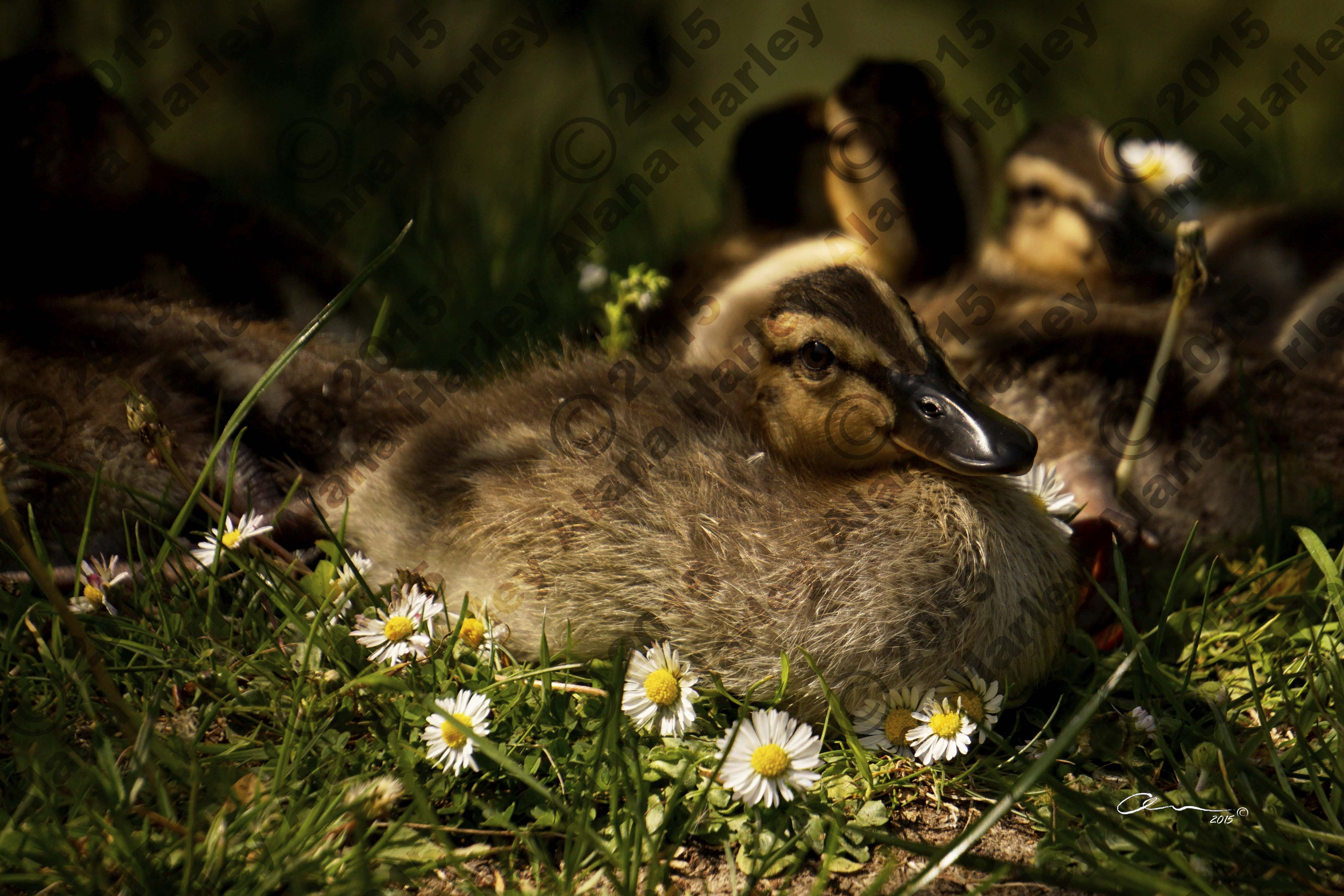 Dozing Duckling in the Daisys